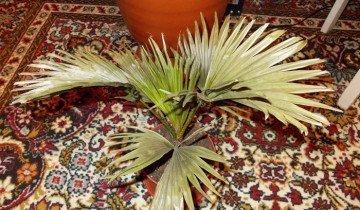 Фотография засохшей комнатной пальмы, fastpic.ru