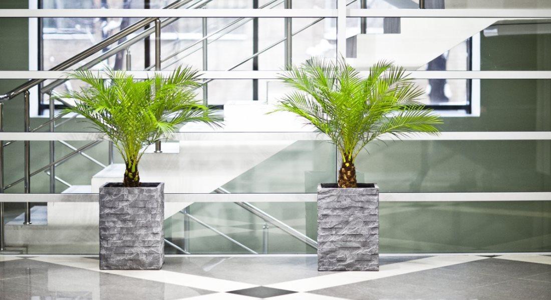 Пальма бамбуковая комнатная