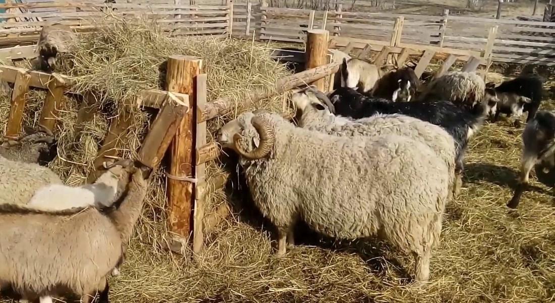 Ясли для овец