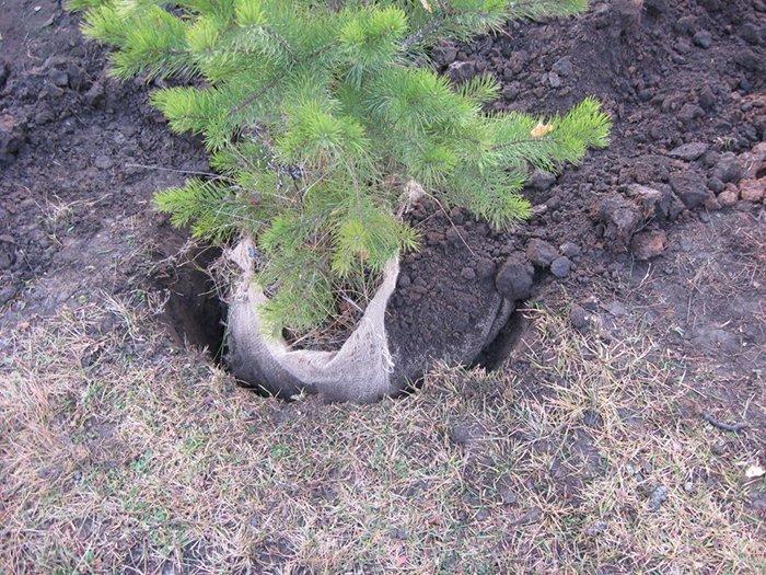 Как пересадить сосну из леса на участок, когда