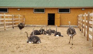 Как выращивать страуса в домашних условиях?