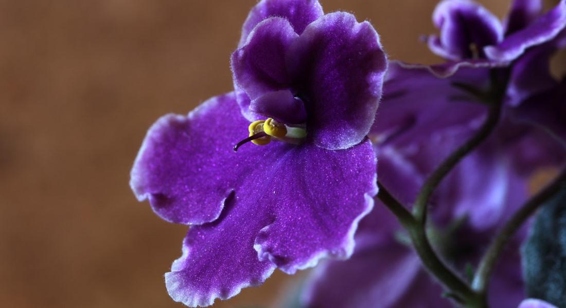 Пересадка фиалок зимой - Мир ботаники