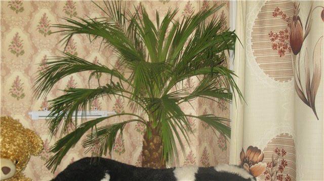 На изображении финиковая пальма