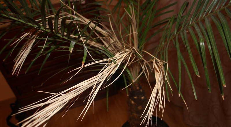 Что делать, если сохнет финиковая пальма