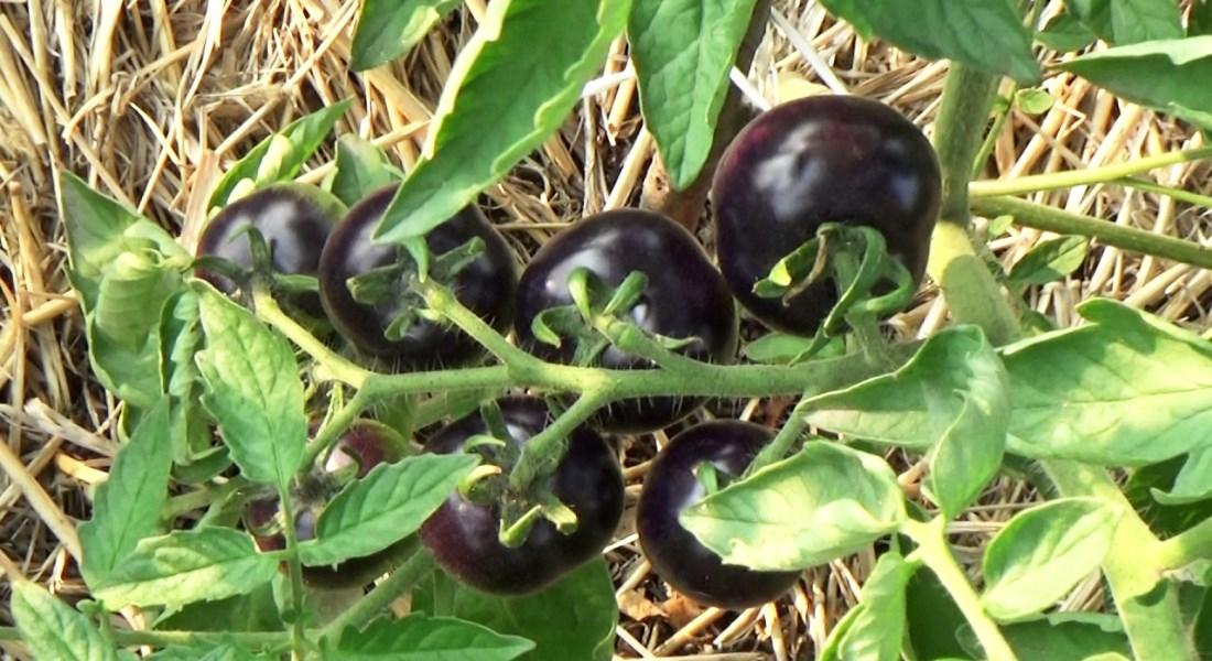 Темные помидоры лучшие сорта