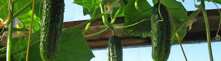 Как правильно выращивать огурцы зимой на подоконнике