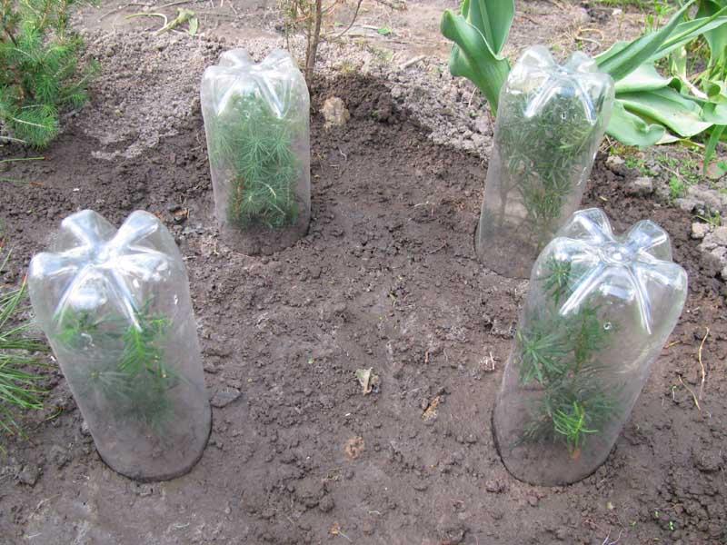 как посадить тую черенками в домашних условиях