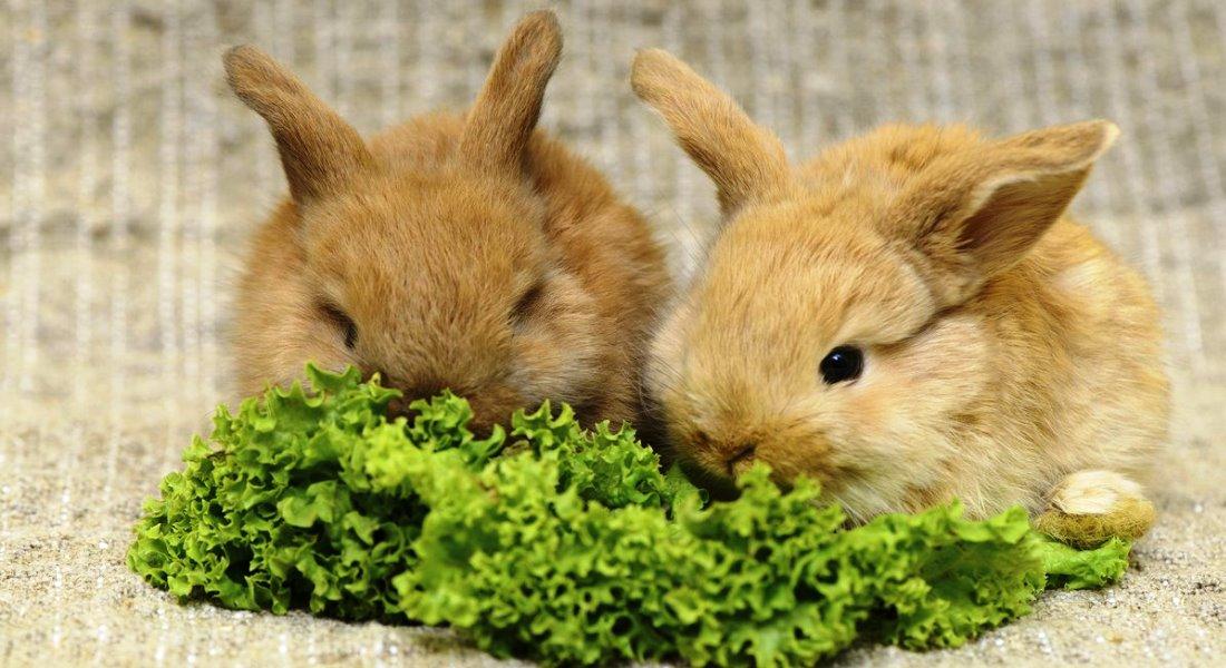 Как правильно кормить декоративного кролика