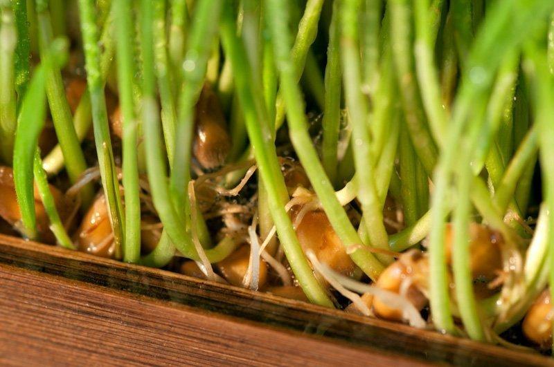 На фото ростки пшеницы