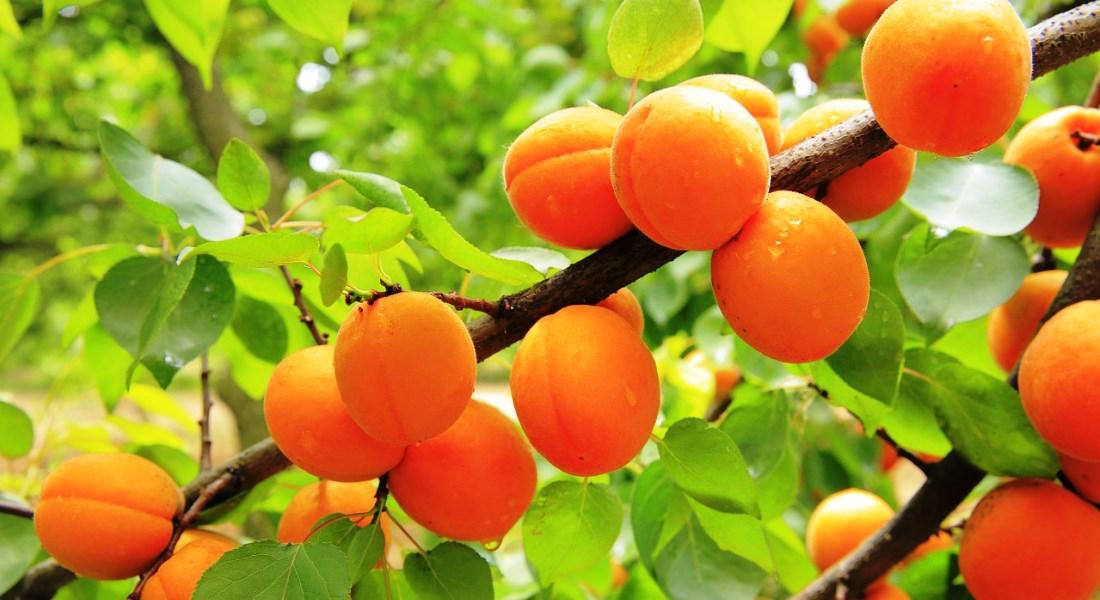 Как и когда садить абрикос