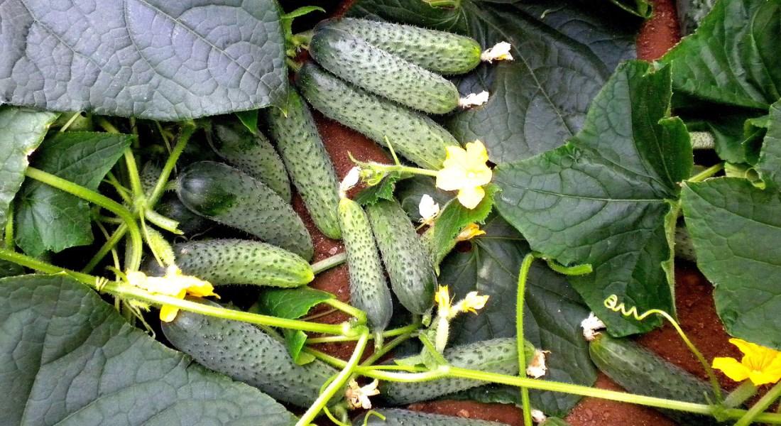 Ранний урожай огурцов в теплице