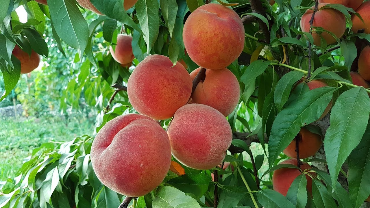 Как посадить персик в домашних условиях