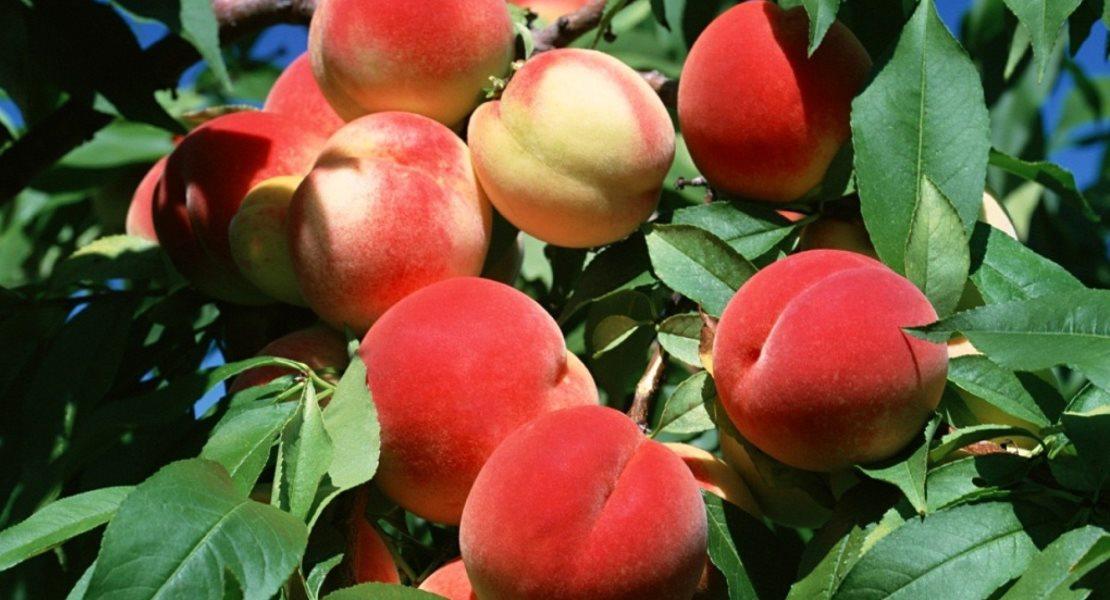 Весенний уход за персиковым деревом борьба с вредителями и болезнями