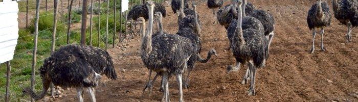 Пенис страусов