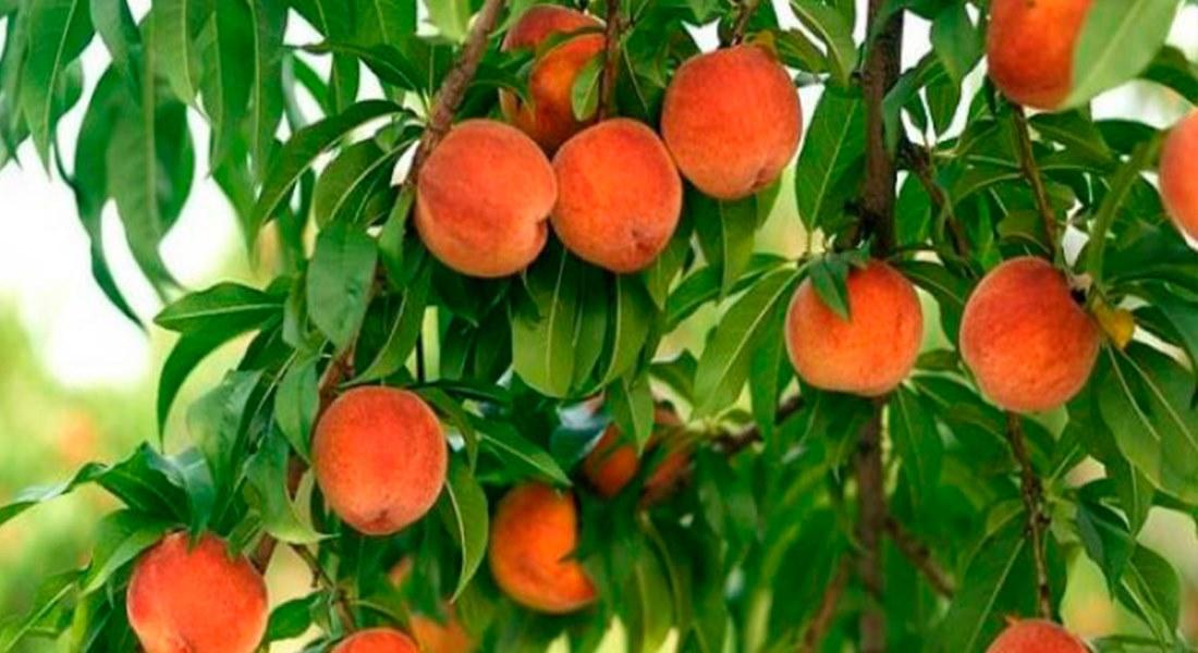 Особенности ухода за персиками осенью