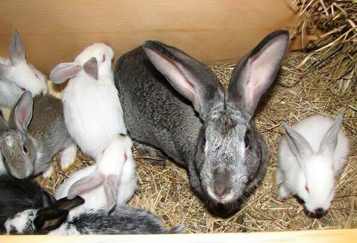 Кожные заболевания кроликов: лишай, ушные клещи, блохи на спине
