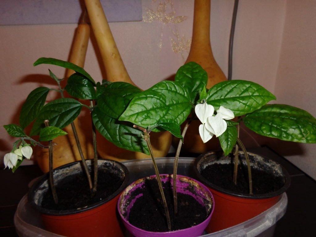 Цветение молодых растений