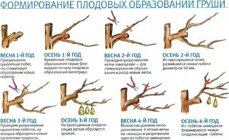 Схема обрезкигруши