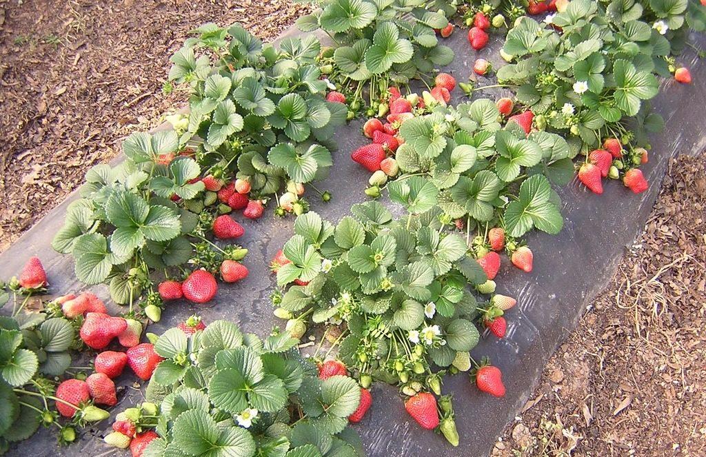 Грядка садовой земляники