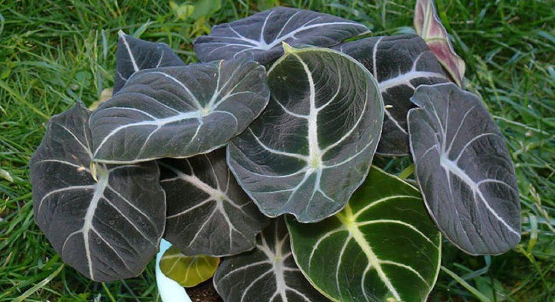 Алоказия полли — уход в домашних условиях за тропическим растением
