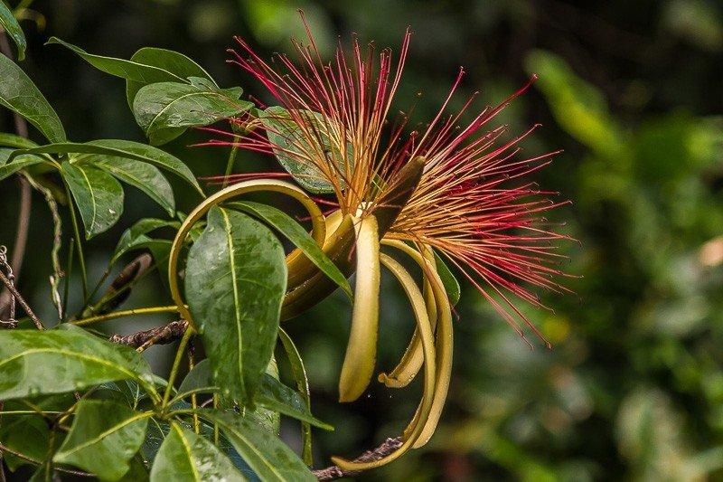 Цветок пахиры