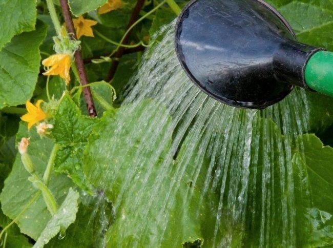 Лейка поливает огурцы