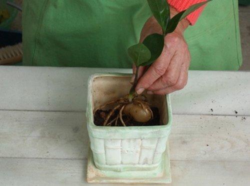 Помещение замиокулькаса в горшок