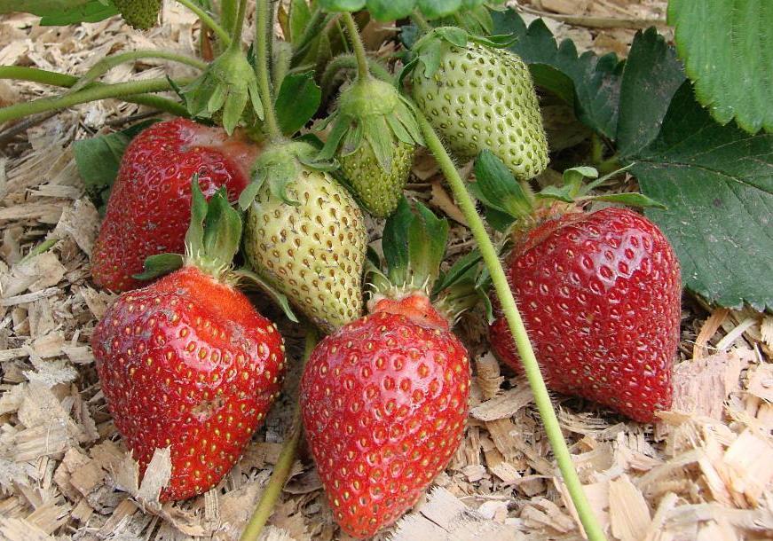 Гроздь ягод садовой земляники