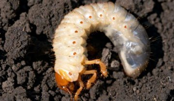 Личинка майсокго жука
