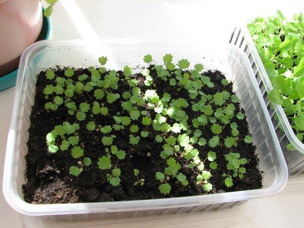 Сеянцы садовой земляники в контейнере