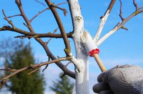 Побелка яблони под зиму