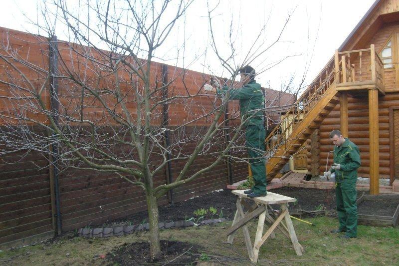 Садовник обрезает сливу