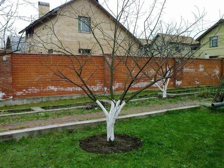 Сливовое дерево на участке