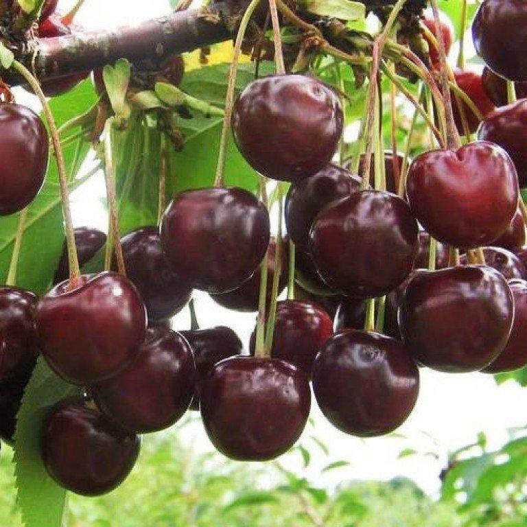Плоды черешни Ипуть
