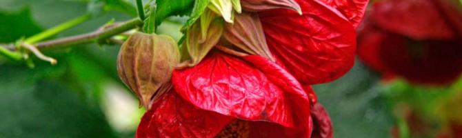 Абутилон комнатный клен - родина растения, энергетика, видео