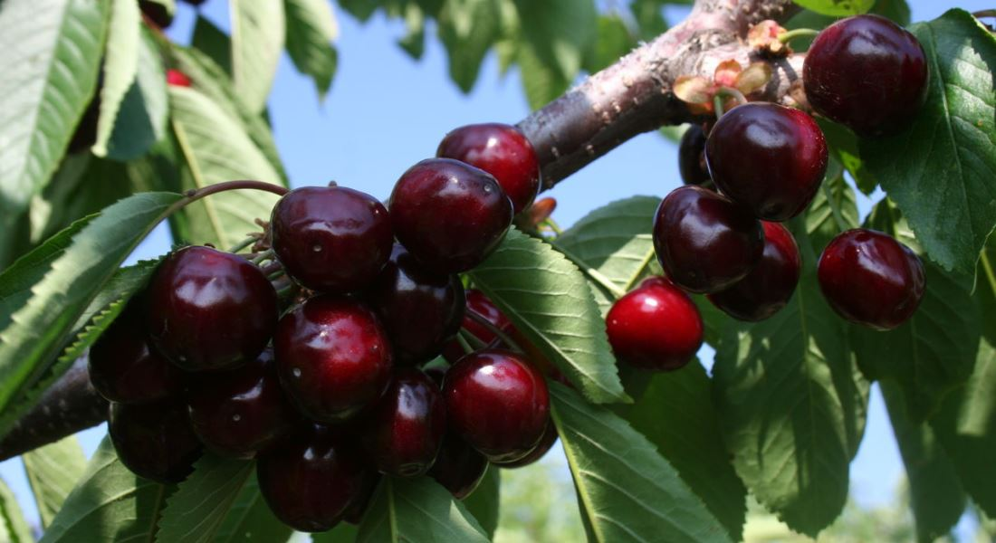 Черешня ипуть опылители вишня