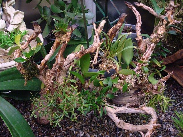 Бромелиевое дерево