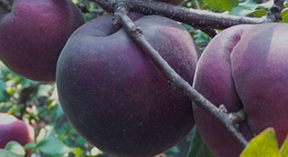 Сорт абрикоса черный принц