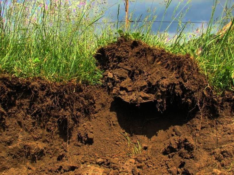 Подходящая для алычи почва