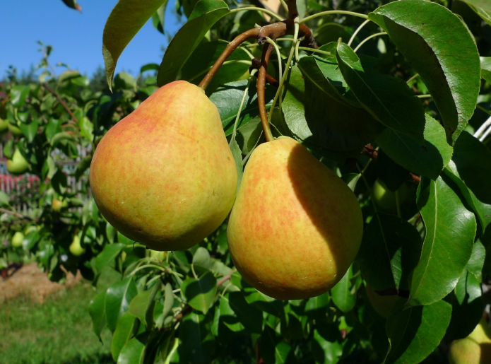 Груша Медовая описание и характеристика сорта, выращивание и уход, отзывы, фото