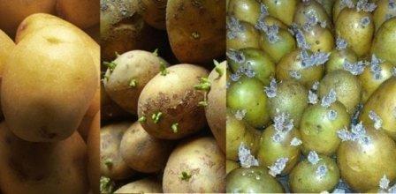 Проращивание картофеля удача перед посадкой