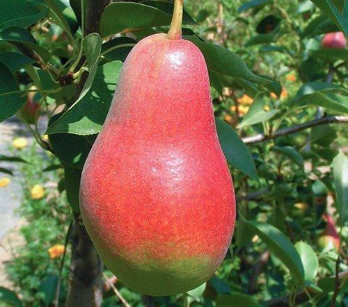 Плод Талгарской красавицы