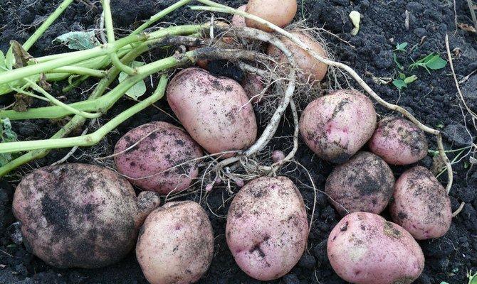 Уборка урожая картофеля фото