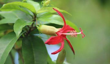 Гибискус гавайский