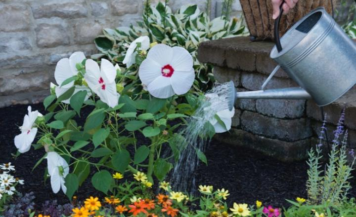 Полив садового гибискуса