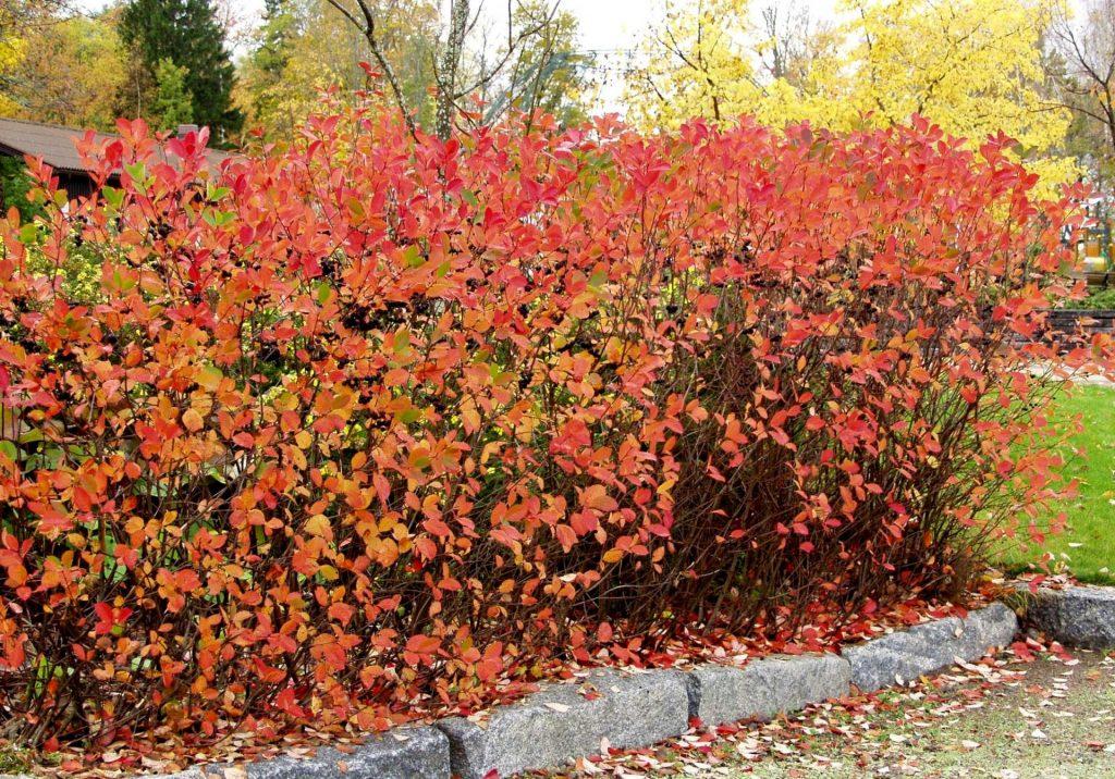 Кусты аронии осенью