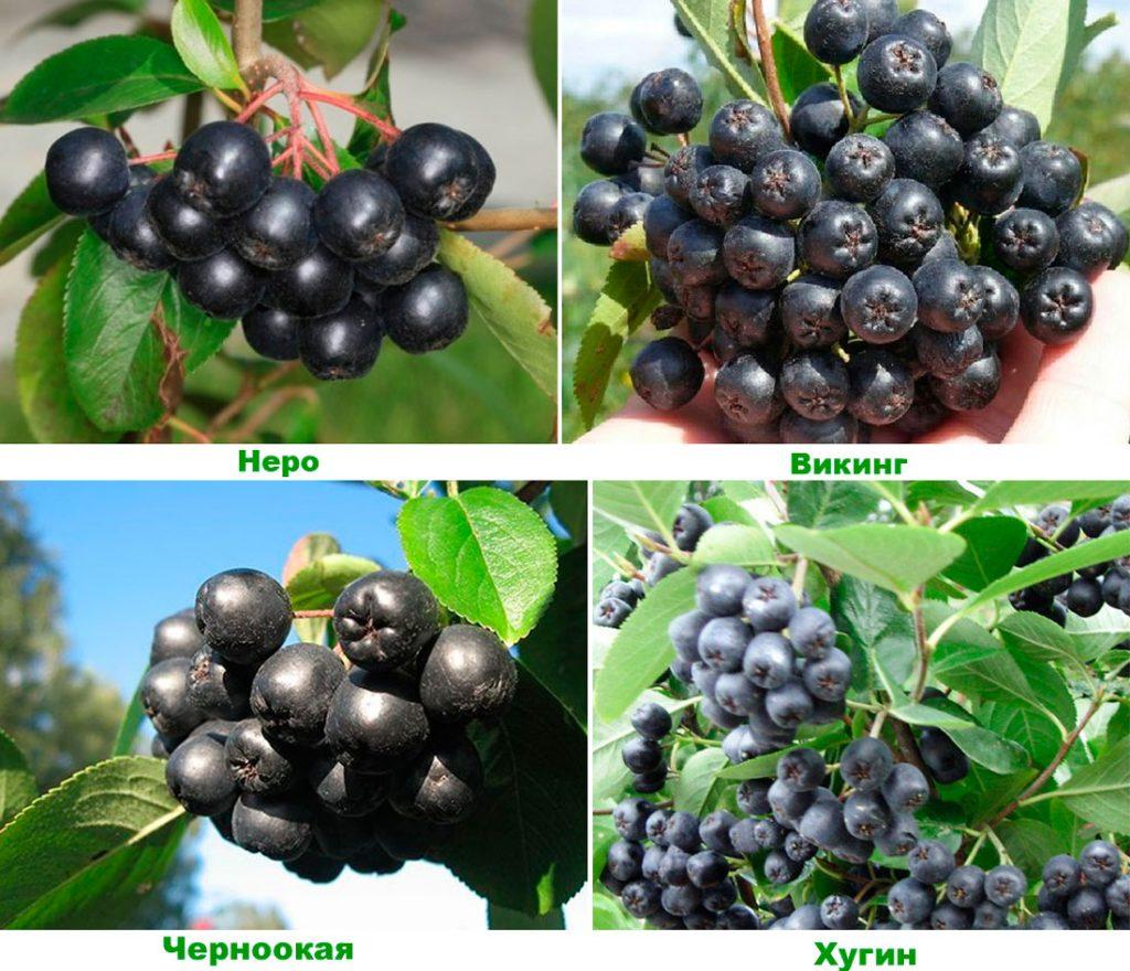 Наиболее популярные сорта черноплодной рябины