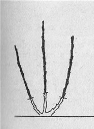 Обрезка саженца весной