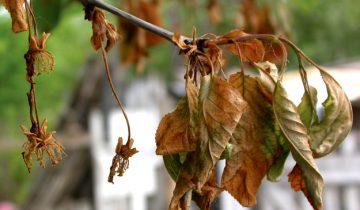 Увядание вишни