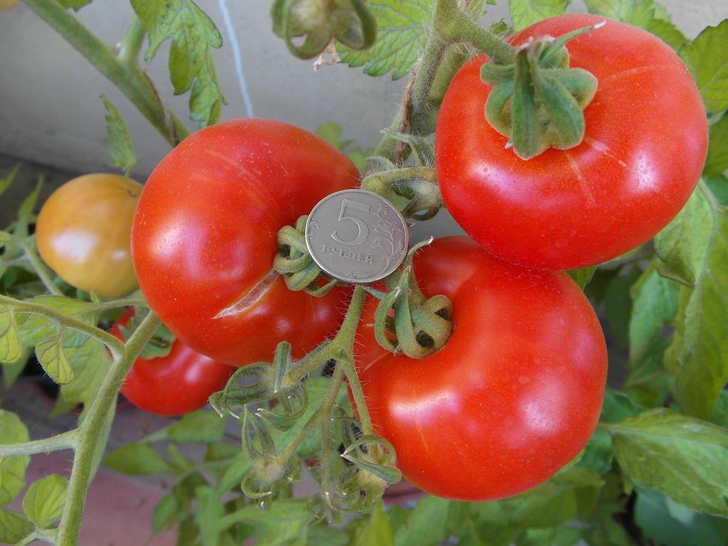 Индетерминантные и детерминантные сорта томатов отличие